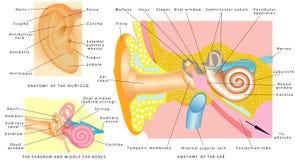 Anatomía humana del oído Imagen de archivo libre de regalías
