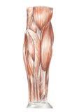 Anatomía humana - músculos del brazo Foto de archivo libre de regalías
