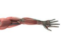 Anatomía humana, mano, brazo, sistema muscular ilustración del vector