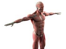 Anatomía humana que muestra la cara, la cabeza, hombros y el sistema muscular del torso Fotos de archivo