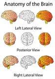 Anatomía médica del cerebro ilustración del vector