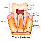 Anatomía médica del diente con palabras Fotos de archivo libres de regalías