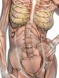 Anatomía, músculos transparant con el esqueleto. ilustración del vector