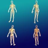 Anatomía masculina 1 Stock de ilustración