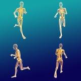 Anatomía masculina 7 Stock de ilustración