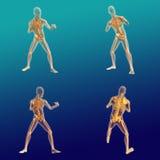 Anatomía masculina 9 Stock de ilustración