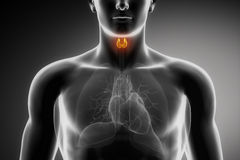 Anatomía masculina de la tiroides Fotos de archivo libres de regalías