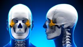 Anatomía masculina del cráneo del hueso zigomático - concepto azul Foto de archivo