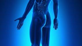Anatomía masculina - próstata humana almacen de video