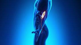Anatomía masculina - riñones humanos libre illustration