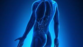 Anatomía masculina - vesícula biliar humana almacen de metraje de vídeo