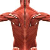 Anatomía muscular de la parte posterior stock de ilustración