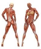 Anatomía muscular femenina del sistema Foto de archivo