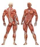 Anatomía muscular masculina del sistema stock de ilustración