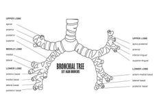 Anatomía principal izquierda del ser humano del bronquio del árbol bronquial Imagen de archivo