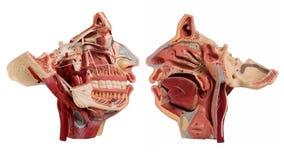 Anatomía real del rostro humano aislada en blanco Imagen de archivo libre de regalías