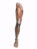 Anatomía una pierna, transparente con el esqueleto. Foto de archivo libre de regalías