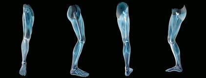 Anatomía una radiografía de la pierna stock de ilustración