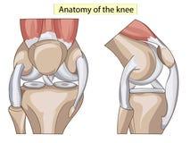 anatomía Vector de la junta de rodilla de la estructura Fotografía de archivo