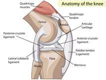 anatomía Vector de la junta de rodilla de la estructura stock de ilustración
