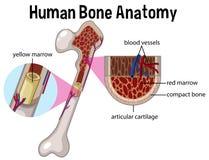 Anatomía y diagrama humanos del hueso ilustración del vector