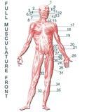 Anatomía Foto de archivo libre de regalías