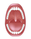 Anatomía de la boca Imagen de archivo libre de regalías