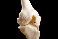 Anatomía de la junta de rodilla humana Imágenes de archivo libres de regalías