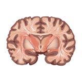 Anatomía del cerebro. Imagen de archivo libre de regalías