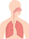 Anatomía del cuerpo humano - sistema respiratorio Imagen de archivo libre de regalías