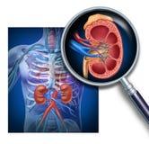 Anatomía del riñón humano Fotografía de archivo libre de regalías