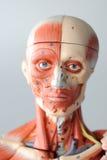 Anatomía del ser humano de la cara Foto de archivo