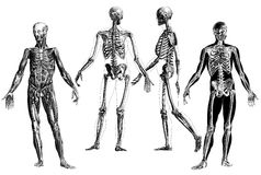 Anatomía - grabados anatómicos victorianos Foto de archivo