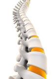 Anatomía humana de la espina dorsal Fotos de archivo