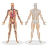 Anatomía humana del hombre Fotos de archivo