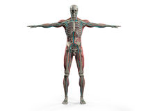 Anatomía humana que muestra el cuerpo, la cabeza, hombros y el torso llenos delanteros Foto de archivo libre de regalías