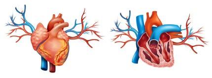 Anatomía interior y anterior del corazón Foto de archivo libre de regalías