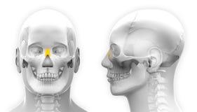 Anatomía masculina del cráneo del hueso nasal - aislada en blanco Fotos de archivo libres de regalías