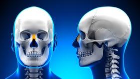 Anatomía masculina del cráneo del hueso nasal - concepto azul Fotografía de archivo libre de regalías