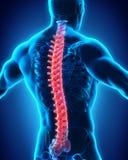 Anatomía masculina humana de la espina dorsal Imágenes de archivo libres de regalías