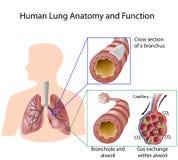 Anatomía y función humanas del pulmón Imagen de archivo libre de regalías