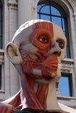 anatomi Arkivfoton