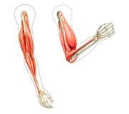 anatomi arms mänskliga diagram Royaltyfri Bild