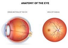 Anatomi av ögat, tvärsnittet och sikten av fonden Arkivfoton