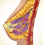 Anatomi av bröstvektorn royaltyfri illustrationer