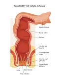 Anatomi av den anala kanalen Royaltyfri Bild
