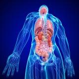 Anatomi av den interna strukturen för människokropp Arkivbilder