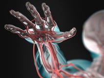 Anatomi av den mänskliga handen Royaltyfria Foton