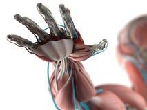 Anatomi av den mänskliga handen Arkivbilder