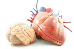 Anatomi av den mänskliga hjärta och hjärnan arkivfoto